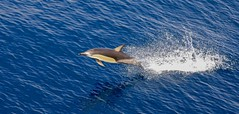 Short-beaked Common Dolphin (Delphinus delphis) (mosesharold) Tags: 1y3a62601 dolphins newzealand fiordland tasmansea