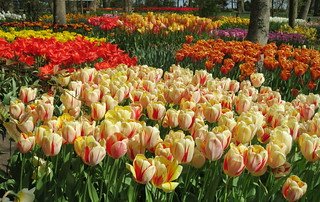 Tulips, and lots of them