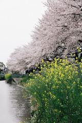 170410_044_5D3_5623 (oda.shinsuke) Tags: cherryblossom さくら 桜 flower vsco 見沼 river 菜の花
