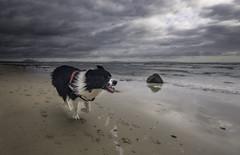 "- Vuela ""Yaba"", vuela - (Mar Diaz -korama-) Tags: bordercollie trastolillos yaba cadiz españa perro animals dog pupy blackandwhite"