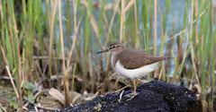 Common sandpiper ~ Actitis hypoleucos (Cosper Wosper) Tags: commonsandpiper actitishypoleucos westhay levels peat reeds bird wader