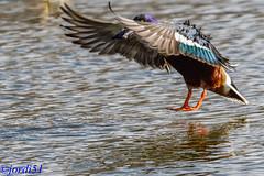 Northen Shoveller. (jordi51) Tags: northenshoveller spatulaclypeata cullerot pato cuchara jordi51 aves birds wildlife nature naturaleza