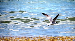 IMG_3004 (thomasgorman1) Tags: seabirds birds seagulls gulls ocean bay sea seaweed akumal mexico