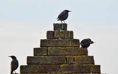 Olympic podium - (common starlings) (kalbasz) Tags: commonstarling olympics seregély birds animal outdoor nature funny sangimignano italy p900