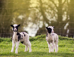 TWINS (henrhyde (gill) back on internet) Tags: lambs twins jacobsheep spring