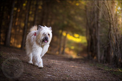 Matlin ~ 15/52/2017 ~ happy trails (illona) Tags: scruffydogphotography scruffydog scruffy rescuedog 52weeksfordogs commercialdogphotography pet photography
