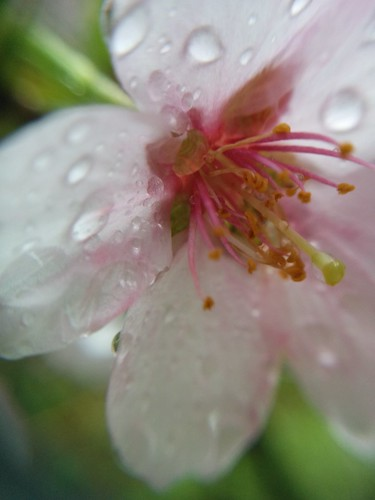 Cherry blossom, petals, rainy