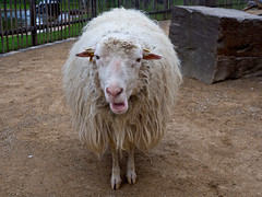 Cold outside? (dolorix) Tags: dolorix köln cologne zoo schaf sheep wolle wool