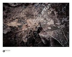 slp17-6724 (andypage7) Tags: westonbirtarboretum leaves fallenleaves decay death lifecycle skeleton lattice filigree delicate dead