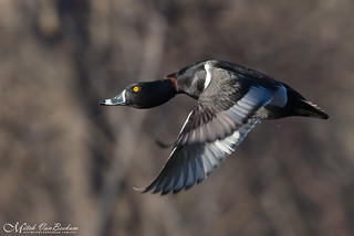 Male Ring-Necked Duck (Explored)