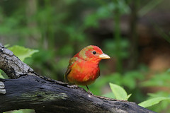 Summer Tanager (Alan Gutsell) Tags: summertanager summer tanager migration texasbirds texas alan galveston island lafittescove
