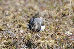 Northern lapwing hunting - Vanellus vanellus (timohannukkala) Tags: bird d7100 ilmarinjärvi nature nikon töyhtöhyyppä vanellus vanellusvanellus northern lapwing