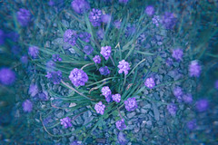 Purple Dream (freyavev) Tags: purple cooltones filter cokin cokinfilter flowers nature germany thüringen thuringia triebes garden canon canon700d vsco deutschland green centered