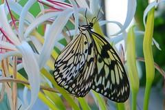 Key West (Florida) Trip 2016 2074Rif 4x6 (edgarandron - Busy!) Tags: florida keys floridakeys butterflyhouse buterfly butterflies keywestbutterflyandnatureconservatory
