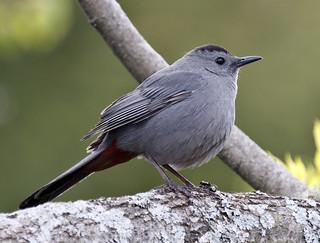 Grey Catbird