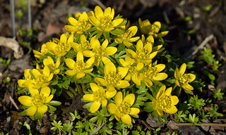 I love spring colors, don't you? Winter aconites. 12.03.2017