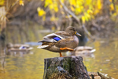 Mallard duck standing on a stump in pond (♥Oxygen♥) Tags: duck water pond stump log black male profile feathers perch standing bird animal beak beautiful female flapping lake mallard nature outdoors shake stand wild wildlife wing reeds reflection sit green yellow sun waterbird color avian background path marking pretty isolated white york clipping waterfowl healthy wildfowl beauty lovely drake autumn