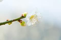 Japanese ume blossom (Yam@chan) Tags: japan nara tsukigase ume plum grove blossom 90mm f28 nikon tamron