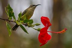 Tacazze Sunbird (Tim Melling) Tags: sunbird nectarinia gondar ethiopia timmelling tacazze