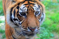 EYES OF THE TIGER (André Pipa) Tags: tigre tiger tigredasibéria siberiantiger amur worldslargestcat power potência felino wonderful hulintheking amba korea manchuria siberia mongolia china photobyandrépipa pantheratigrisaltaica