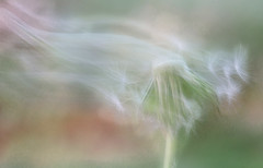 Gone (Inka56) Tags: intentionalblur macromondays dandelion blur pastel bokeh dreamy