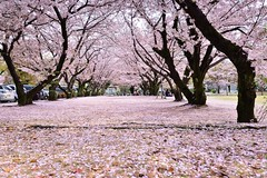 櫻花地毯 Cherry blossoms carpet (Vincent_Ting) Tags: 姬路城 ひめじじょう himejijō 日本 japan castle 城堡 冰庫縣 櫻花 cherry cherrytree cherryblossoms river 護城河 sky 天空 風景 landscape reflection 倒影 文化古蹟 日本三大名城 文化資產 世界文化遺產 旅遊名勝 touristdestination spring 春天 vincentting 日本關西 kansai