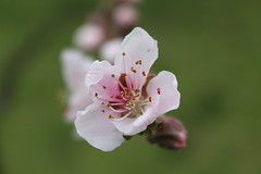 Peach-To-Be (slow_brains) Tags: macro blossom flower nature spring garden season italy italia alessandria pozzoloformigaro nofilter canon natura fiore fiori albero branch branches ramo fioriture fioritura primavera lovenature naturelover love green noviligure piemonte dreams peach peachblossom peachflower peachflowers peachtobe pesco pesca peachtree