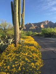 Desert Spring (searchnetmedia) Tags: desert flowers catalina mountains tucson arizona