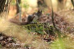 IMG_2095 (marianabmcruz) Tags: parquebiológicodegaia parquebiológico biologicalpark outdoors outdoor nature natureza animal animals fauna esquilo squirrel squirrels