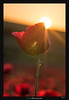 Shiny Cup (Ilan Shacham) Tags: flower macro sunset rays poppy red field landscape israel hulda fineart fineartphotography