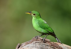 Green Honeycreeper - female (anacm.silva) Tags: greenhoneycreeper honeycreeper ave bird wild wildlife nature natureza naturaleza birds aves bocatapada costarica centralamerica chlorophanesspiza ngc
