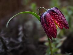 Fritillaria meleagris (Oly User) Tags: 60mmf28macro april2017 blã¼ten frã¼hblã¼her makro natur omdem5markii olympus thomasmeinersmann blüten frühblüher macrounlimited
