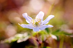 ✨ Dreamy... ✨ (Maria Godfrida) Tags: flower flora white whiteflower anemone woodanemone closeup dreamy nature outdoor wood plants spring bokeh colorful colourful colours colors