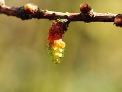 larch flower (mark.griffin52) Tags: olympusem5 england buckinghamshire cheddington garden spring tree flower larch larixkaempferijacobsenspyramid