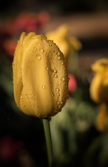 Tulip (Elainе) Tags: descansogardens flowers tulip drops waterdrops yellow spring