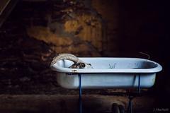 baby bath (Jen MacNeill) Tags: sheep ram skull bone horns bones death grim morose sad dead farm babybathtub bath tub bathtub antique stilllife painterly