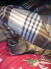 Chewy Under the Blankets (splinky9000) Tags: kingston ontario chewy chihuahua terrier dog pet bed blanket pajamas red