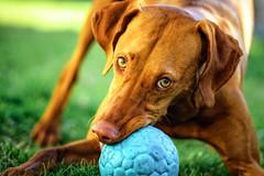 She's Having a Ball (Explored) (Neil_Wagner) Tags: dog vizsla cute hungarian ball spring
