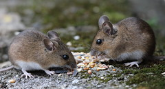 Long-tailed Fieldmice (Mukumbura) Tags: longtailedfieldmouse woodmouse apodemussylvaticus mouse mice animal rodent garden nature england seed birdseed eating food foraging hedge ground earth sunflower moss portrait two pair gettyimages