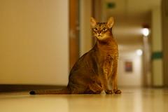 But that's weird... (DizzieMizzieLizzie) Tags: abyssinian aby beautiful wonderful lizzie dizziemizzielizzie portrait cat chats feline gato gatto katt katze katzen kot meow mirrorless pisica sony a6500 people photoadd