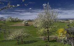 Blooming country (KF-Photo) Tags: 1610 acker baumblüten blühendebäume felder ohmenhausen goldregen