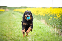 Easter weekend fun :) *Explore* (Dogloverlou) Tags: cash hovawart ball action yellow colour rapeseed run walk beach easter 2017