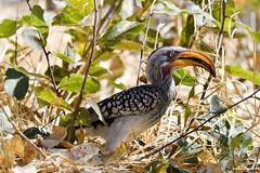Yellow-Billed Hornbill (naturalturn) Tags: hornbill yellowbilledhornbill savanna savuti chobe chobenationalpark botswana image:rating=5 image:id=205008