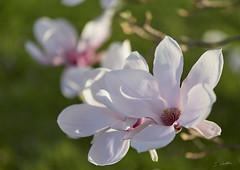 Danse autour du magnolia 6/22 (Emmanuel Cattier -) Tags: magnolia fleur plante tree fleursetplantes flower flowering arbre arbreenfleur france strasbourg alsace grandest floraison lumière printemps cattier emmanuelcattier manusoft