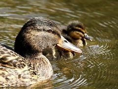 (merseymouse) Tags: mallard birds