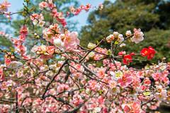 Tokyo_Shinjuku_Cherry Blossom-17 (BilderMaennchen) Tags: shibuyaku tōkyōto japan jp bildermaennchen nikon d4s citylife nature cherryblossom cherry blossom tokio shinjuku