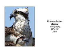 "Osprey • <a style=""font-size:0.8em;"" href=""https://www.flickr.com/photos/124378531@N04/33757249835/"" target=""_blank"">View on Flickr</a>"