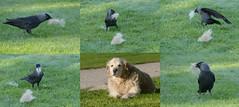 Winnie & the Jackdaws (tobyjug5) Tags: birds behaviour ornithology dogshair nesting material cosy warm