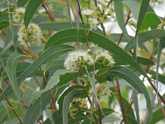 Eucalyptus racemosa 4 (barryaceae) Tags: scribbly gum track greenfields beach vincentia jervis bay nsw australia