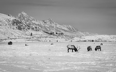 Grand Teton and the National Elk Refuge, Wyoming (T.M.Peto) Tags: nationalelkrefuge wyoming grandteton elk antlers snow snowy winter winterwonderland winterscene wintertime winterphotography landscape landscapephotography landscapes landscpaephotography scenicsnotjustlandscapes scenic scenery scenics jacksonhole wy tetons tetonrange mountain mountains mountainside mountainpeak mountainpeaks mountainridge mountainrange outdoor outdoors outdoorphotography getoutdoors getoutside travel travelphotography blackandwhite blackwhite monochrome animal animals refuge wildlife wildlifephotography wildanimals wild wilderness nature naturephotography nikond3300 nikon nikonphotography nikonoutdoors sleigh sleighride biggame game rocks cliffs fog cold horse horses trees pines cars road houses